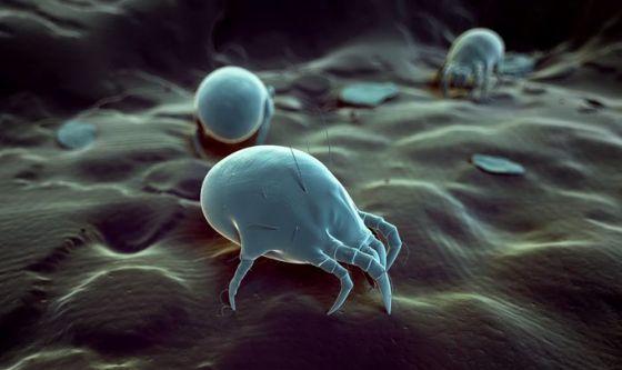 Gli acari si nutrono dei residui della pelle