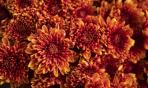 L'uso del crisantemo