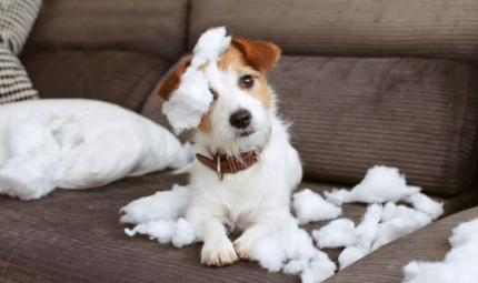 Perché il cane distrugge l'arredamento della casa?