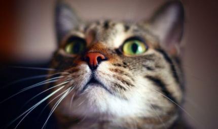 Toyer, il gatto simile alla tigre facile da addestrare