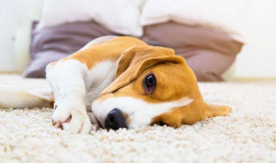 Infezioni fungine nel cane: Aspergillosi