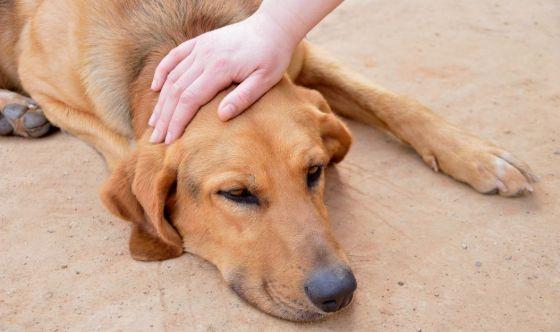 Piometra nel cane: come riconoscerla