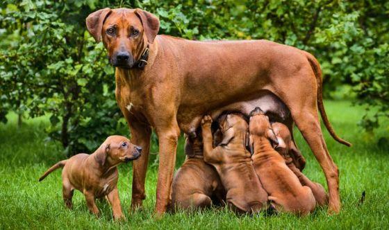 Il tumore mammario nel cane e nel gatto femmina