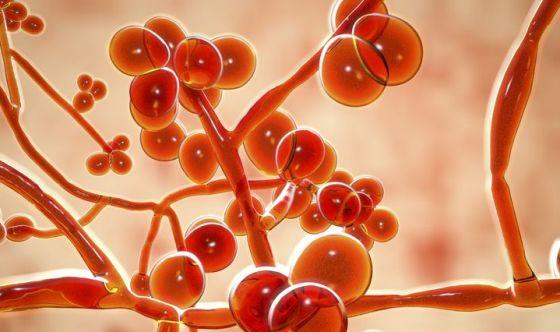 Un nuovo fungo resistente ai farmaci