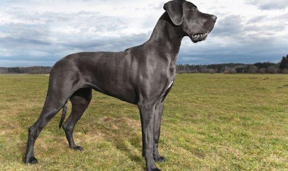 Alano, cane elegante e dal carattere eccellente