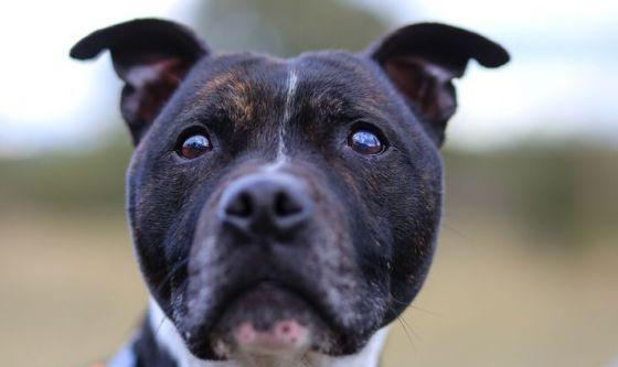 La razza: ecco l'American Staffordshire Terrier