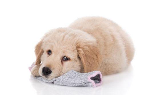 Cani, rubare calzini e scarpe non è un dispetto. Ecco perché