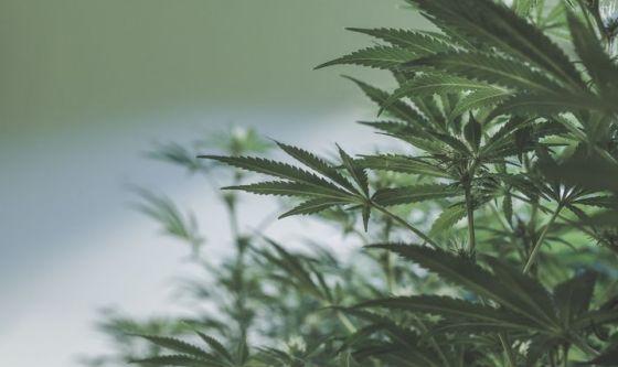 La Cannabis contro i batteri farmacoresistenti