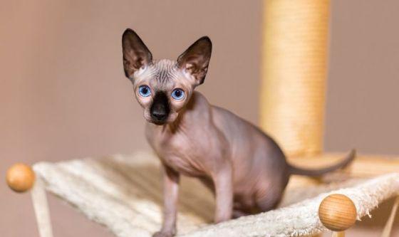 Lo Sphynx, il gatto privo di mantello