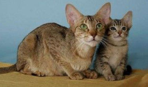 Il Kanaani: la razza di gatto sperimentale