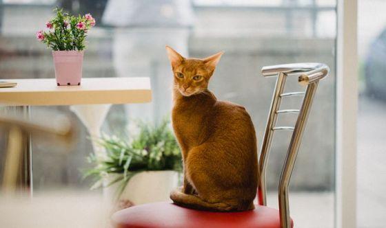 Il gatto Abissino dalle origini antichissime