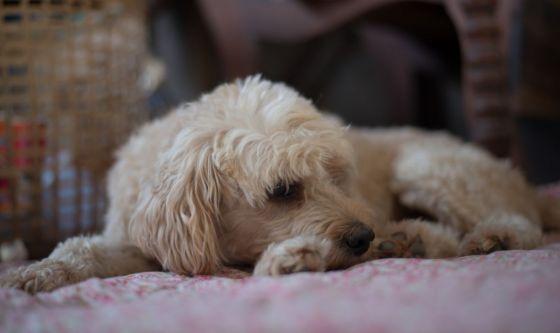 Il cane si fa la pipì addosso: che fare?
