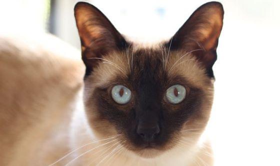Il Tonkinese: un gatto, una razza