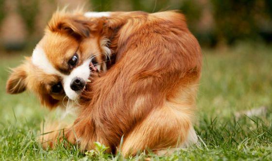 Aliamidi, rimedio naturale contro il prurito del cane
