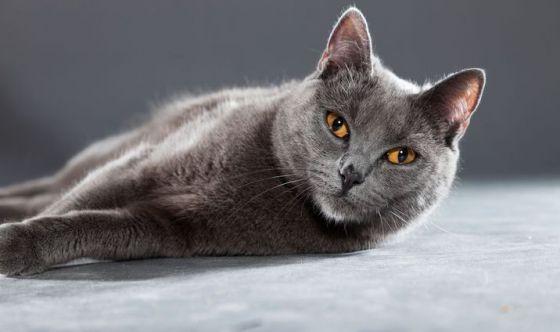 Il Gatto Certosino Il Leggendario Cacciatore