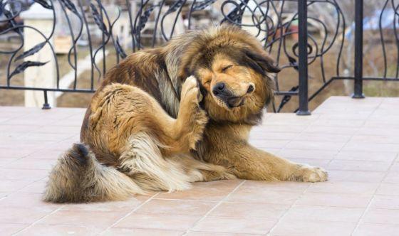 Rogna sarcoptica nel cane: riconoscerla e curarla