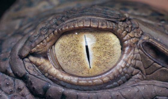 Nello sperma di coccodrillo un aiuto contro la sterilità?
