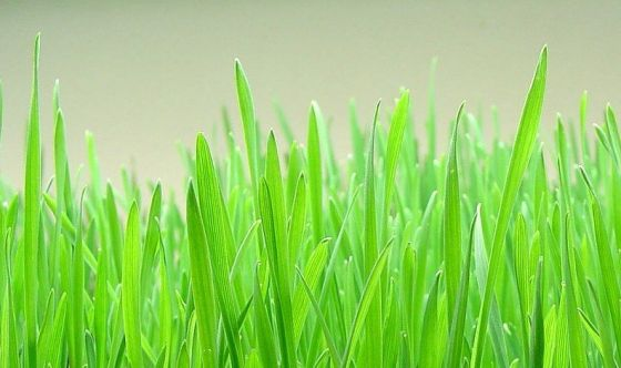 I segreti del Wheatgrass, il succo d'erba amato dalle star