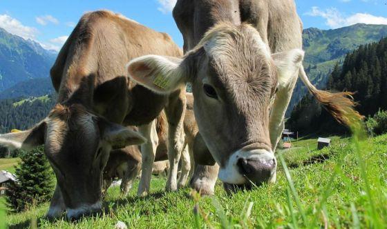 Caro latte bio ma la vacca come mangia?