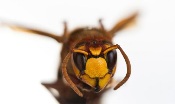 Oltre ad api e vespe, in arrivo il calabrone killer