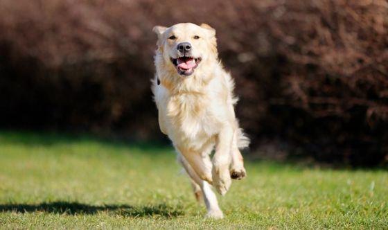 Il cane sportivo. Quale alimentazione