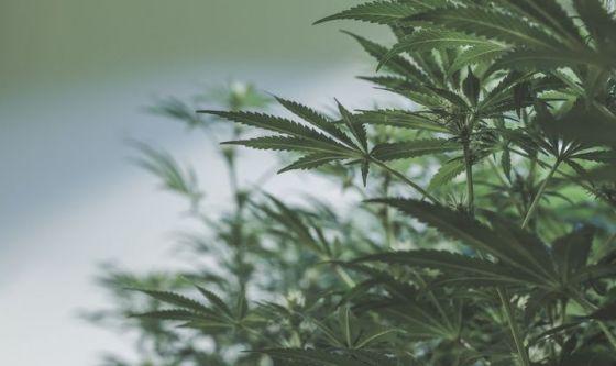Cannabis: mangiarla non fa meno male che fumarla