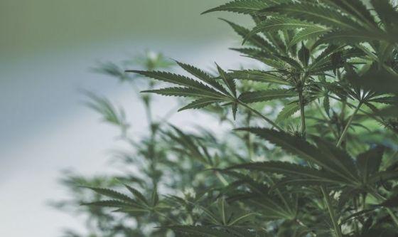Un'app per valutare gli effetti della cannabis
