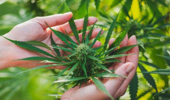 La Cannabis per uso medicinale