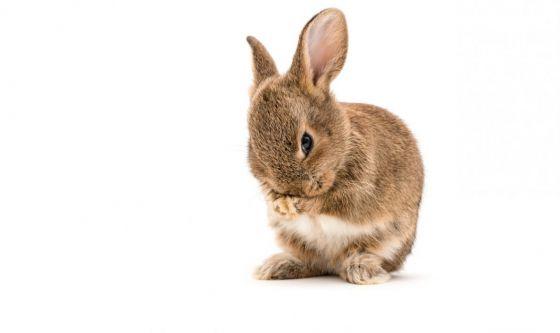 Un soffice amico: il coniglio nano