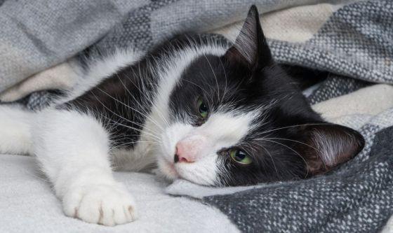 Il virus dell'immunodeficienza felina nel gatto