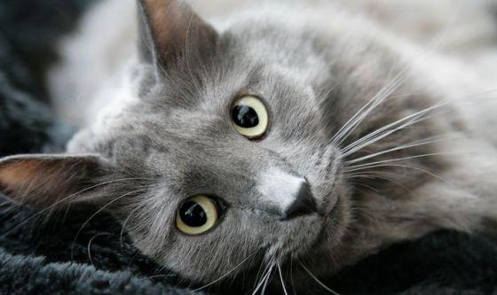 Il gatto Nebelung, caratteristiche e carattere
