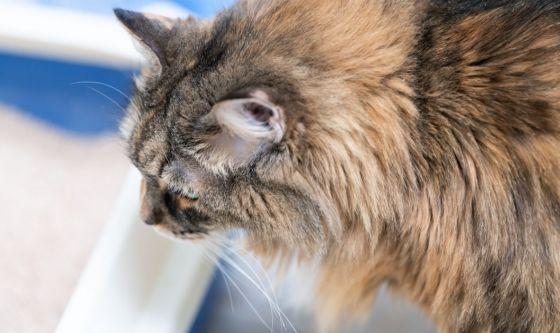 La stitichezza del gatto: è preoccupante?