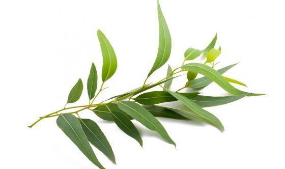 Tintura madre di eucalipto, uso e controindicazioni
