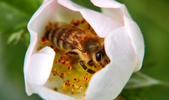 Senza api l'agricoltura è in pericolo