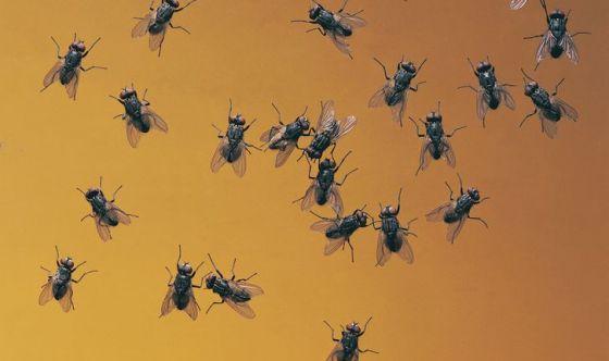 La mosca: un insetto pericoloso per la nostra salute
