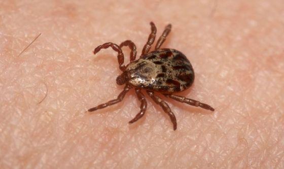 Una nuova malattia trasmessa dalla zecca: la neo-ehrlichiosi
