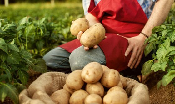 Calorie delle patate e metodi di cottura
