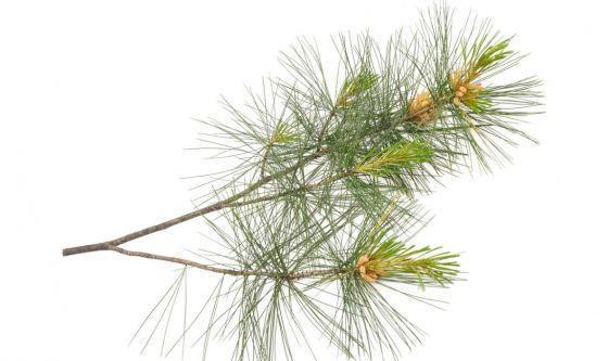 Cirmolo, la pianta che aiuta il respiro