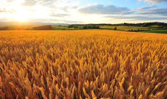 L'identikit del grano giusto per fare una pasta perfetta