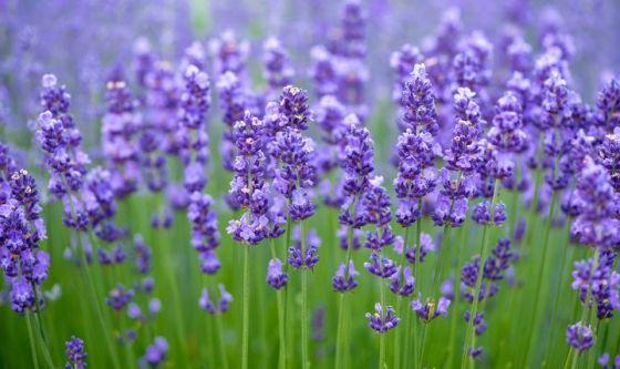 Lavanda, il fiore della pelle sensibile