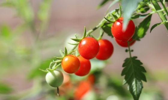 Bellezza: pomodoro alleato antiage, a tavola e nelle creme