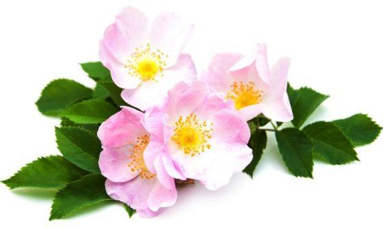 Rosa canina: una nuova arma contro il cancro al seno?
