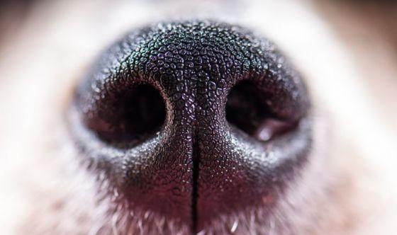 Cani addestrati a riconoscere il tumore del seno