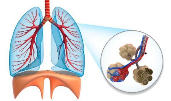 Il bronco si rigenera grazie alle staminali