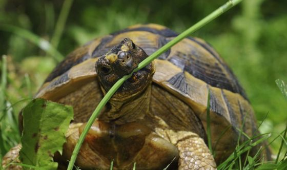 Una tartaruga in giardino