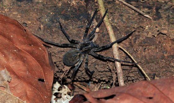 Presto un Viagra naturale ricavato dal veleno di ragno