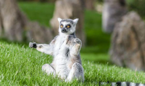 Arriva il Lemur Yoga, la pratica con i lemuri
