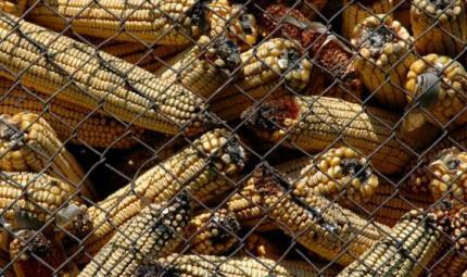 Gli alimenti con la muffa sono cancerogeni?