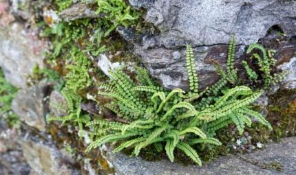 L'erba spaccapietra contro i calcoli urinari