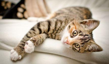 Perché la taurina è essenziale nel gatto?